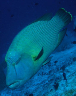 Napoleon wrasse are found in Koh Surin - photo coutesy of ScubaZoo