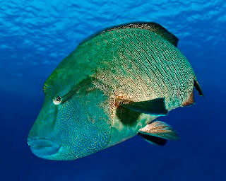 Napoleon wrasse are quite commonly found when diving in the Red Sea - photo courtesy of Matthias Schmidt
