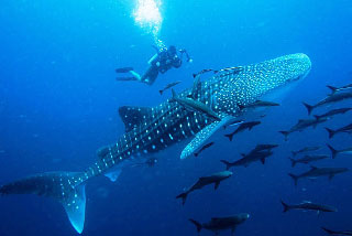 Swim with ocean giants in Galapagos or Mexico