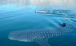 Could a whale shark enrich your Red Sea liveaboard experience?