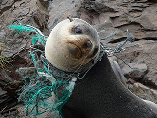 Sea lion entangled in plastic