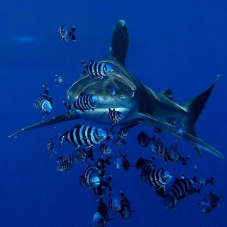 Diving in the Red Sea with oceanic white tip sharks - photo copyright of Oasis, Marsa Alam