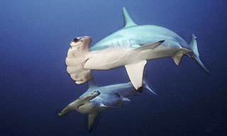 You will encounter a lot of scalloped hammerhead sharks at Cocos Island, Costa Rica