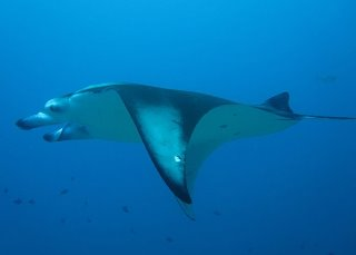 Manta ray encounters, like this one, are commonplace in the Maldives