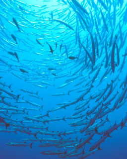 Populations of fish species such as barracuda have rebounded in Palau