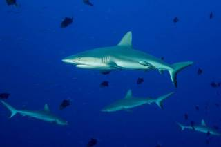 Diving with grey reef sharks at Blue Corner in Palau