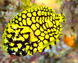 A pinecone fish was a first for Jim on his Thailand liveaboard trip