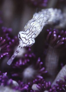 Close up of a pipefish - common critter of diving at Beqa Island, Fiji - photo courtesy of ScubaZoo