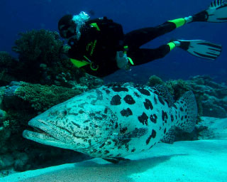 Liveaboard diving with giant potato cods on the Great Barrier Reef