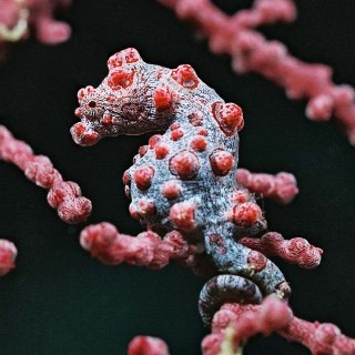 Barbigants pygmy seahorse - Dive the World