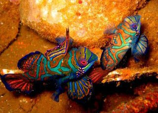Mandarinfish can be seen in the Raja Ampat area - photo courtesy of friends of Pindito