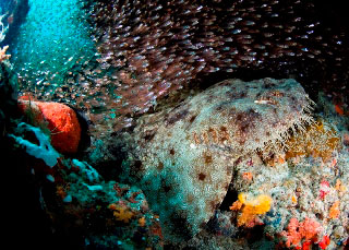 Wobbegong in Raja Ampat, Indonesia - photo courtesy of Stephen Wong and Takako Uno