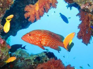 Red coral grouper, diving in Hurghada, the Red Sea - photo courtesy of Detlef Sarrazin