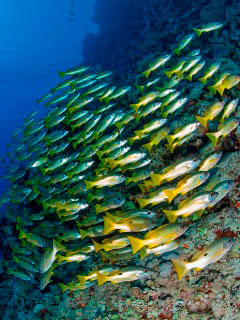 School of Ehrenberg Snapper in the Red Sea - photo courtesy of Matthias Schmidt