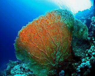 You can expect superb visibility and huge gorgonian fans when diving in the Red Sea - photo courtesy of Matthias Schmidt