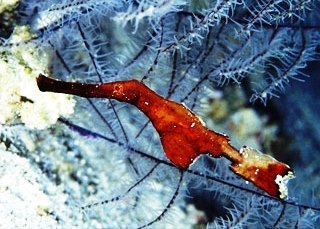 Robust ghostpipefish in the Surin Islands, Thailand - photo coutesy of ScubaZoo