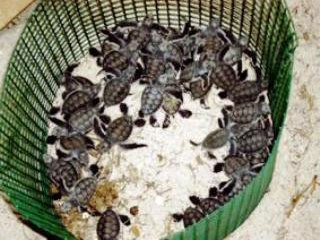 Reef Guardians' turtle hatchlings from the Sugud Islands Marine Conservation Area, Sabah