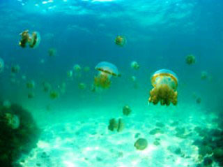 Jellyfish Lake, Kakaban Island - photo courtesy of Sangalaki Dive Lodge, Indonesia
