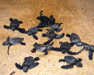 Released to a life of freedom, turtle hatchlings scrurrying out to sea in Indonesia