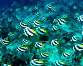 Watch endless streams of schooling bannerfish when you dive at the Lhaviyani Atoll in the Maldives - photo courtesy of ScubaZoo