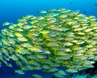 Schooling snappers in the Maldives - photo courtesy of ScubaZoo