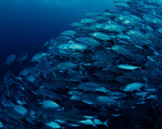 Diving in Maldives is great for schooling trevallies - photo courtesy of ScubaZoo