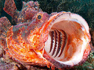 The gaping mouth of a toxic scorpionfish