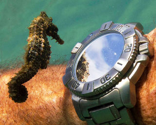 A seahorse inspects a divers watch