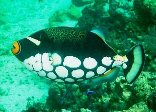 Diving with Clown trigger fish at Sipadan Island - photo by Sheldon Hey