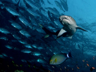 Whitetip reef shark with schooling jacks. Diving Pulau Sipadan - photo by Eric Madeja