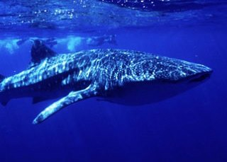 Whale sharks are a common sighting when scuba diving in Australia - photo courtesy of ScubaZoo