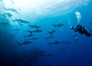 Diving with silky sharks at Socorro Island, Mexico - photo courtesy of Rodrigo Friscione