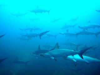 Hammerhead sharks at the Socorro Islands, Mexico - photo courtesy of Sea Escape