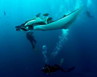 Diving with Manta rays at the Boiler, Socorro Islands - photo courtesy of David Valencia, Sea Escape