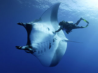 Diving with manta rays in Socorro