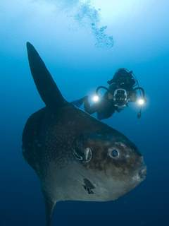 Working with sunfish in Bali - photo courtesy of ScubaZoo