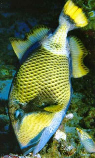 Titan triggerfish are found diving at Koh Tao, Thailand - photo coutesy of Marcel Widmer - www.seasidepix.com