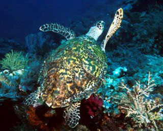 Hawksbill Turtle at Koh Rok, Thailand - photo coutesy of Marcel Widmer - www.seasidepix.com