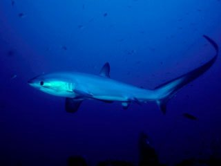 Southern Red Sea diving with thresher sharks - photo courtesy of ScubaZoo
