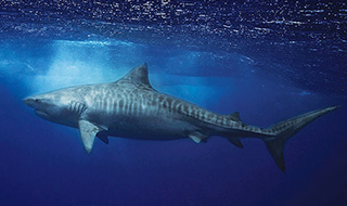 The mighty, stripey tiger shark