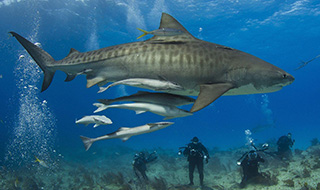 Divers marvelling at the awesome sight of a tiger shark