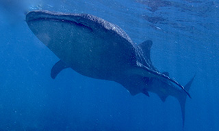 Tick that bucket list when a whale shark cruises by