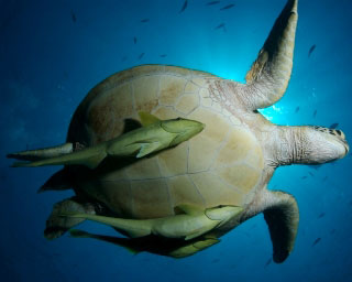 Diving with turtles at Pulau Sipadan - photo courtesy of Treasure Images