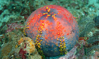 The odd looking sea apple that bejewels the sea floor in Komodo, courtesy of Pierre-Edouard Crouzier