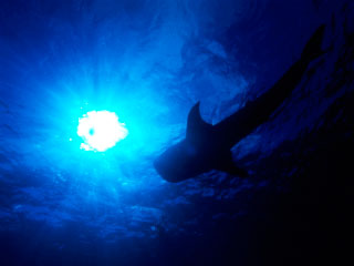 The silhouette of a whale shark - photo courtesy of ScubaZoo