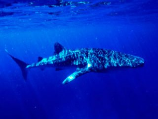 Diving with a whale shark is one of the main attractions to Similan Islands liveaboards