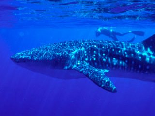 Scuba Diving in Maldives with whale sharks - photo courtesy of Macana