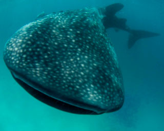 Whale sharks are commonly sighted at Ari Atoll in the Maldives - photo courtesy ofScubaZoo