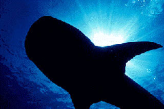 You might find a whale shark at Koh Tao's Chumphon Pinnacle