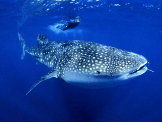 Travel to Similan Islands Thailand and dive with whale sharks